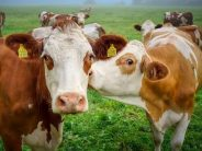 Wat zeggen koeien nou eigenlijk?