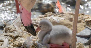 Babyboom: meer dan vijftig flamingo's geboren in GaiaZoo